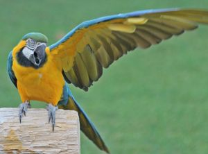 Parrot -- 1 wing