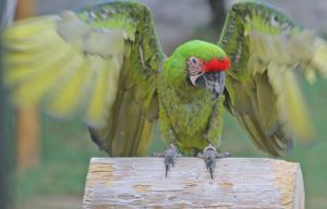 Parrot -- Wing Flap